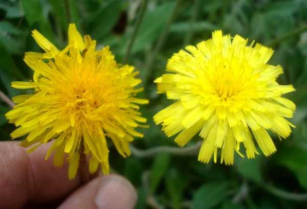 La Piloselle... Une plante vivace médicinale Dsc05827