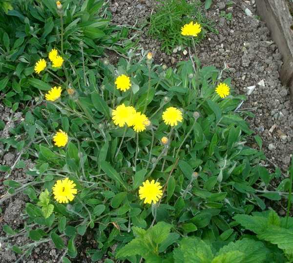 La Piloselle... Une plante vivace médicinale Dsc05828