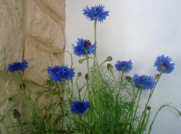 Un beau bouquet de Centaurées.... Dsc05837