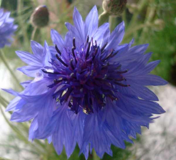 Un beau bouquet de Centaurées.... Dsc05838