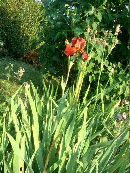 Les iris : un régal pour les yeux ! Dsc05947