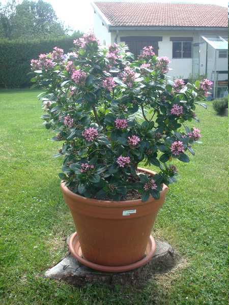 Les plantes ou arbustes en pot : l'Escalonia Dsc06019