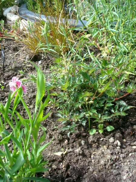 L'Astilbe... une plante d'eau, mais pas que... Dsc06023
