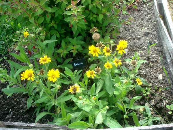 L'Arnica, une plante médicinale... Dsc06027