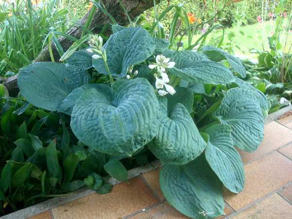 Les Hostas... Une autre plante d'eau Dsc06028