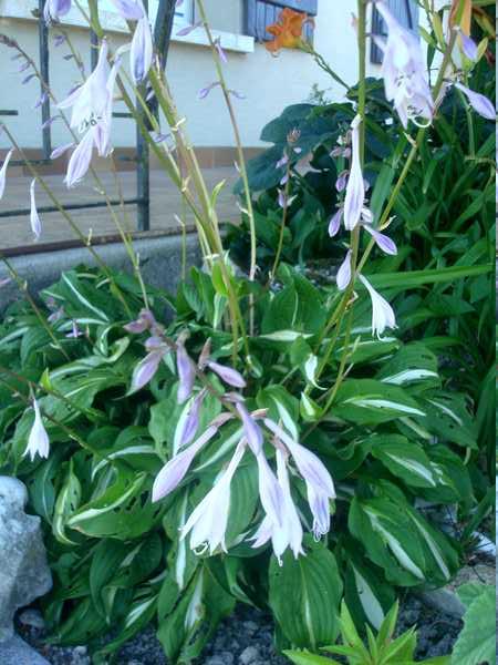 Les Hostas... Une autre plante d'eau Dsc06029