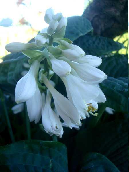 Les Hostas... Une autre plante d'eau Dsc06030