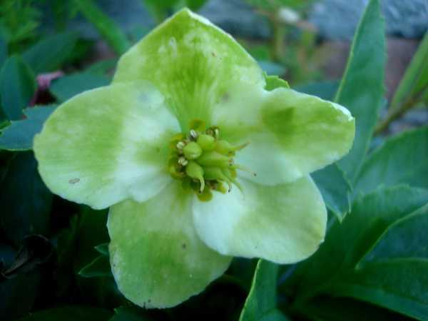 L'Héllébore ou Rose de Noël Dsc06032