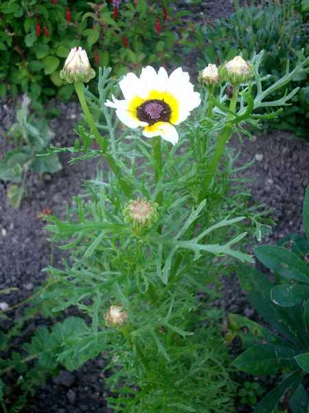 Chrysanthème à Carène Dsc06034