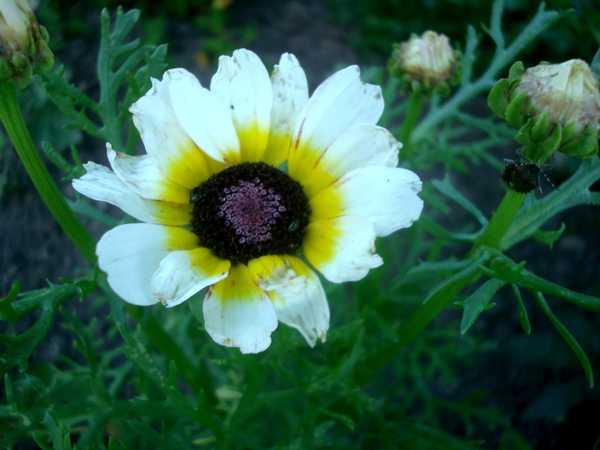 Chrysanthème à Carène Dsc06035