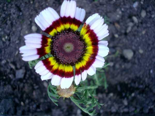 Chrysanthème à Carène Dsc06036