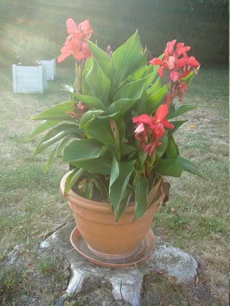 Les plantes en pots au jardin. Dsc06152