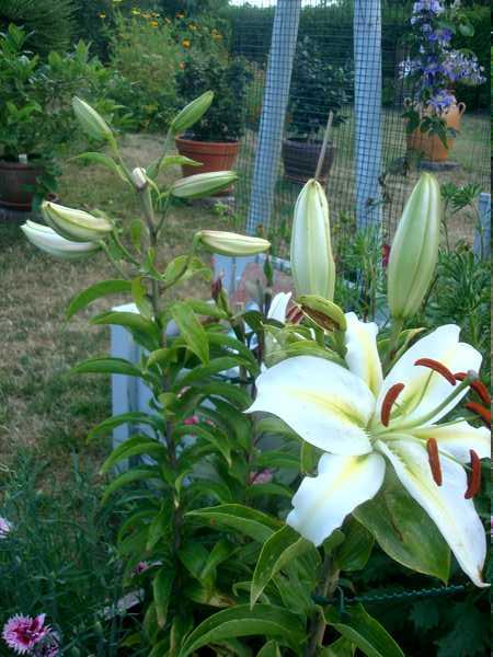 Le Lys = Une fleur royale Dsc06239
