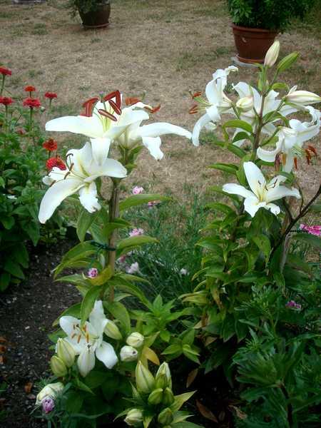 Le Lys = Une fleur royale Dsc06241