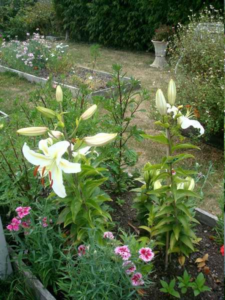 Le Lys = Une fleur royale Dsc06242