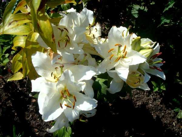 Le Lys = Une fleur royale Dsc06246