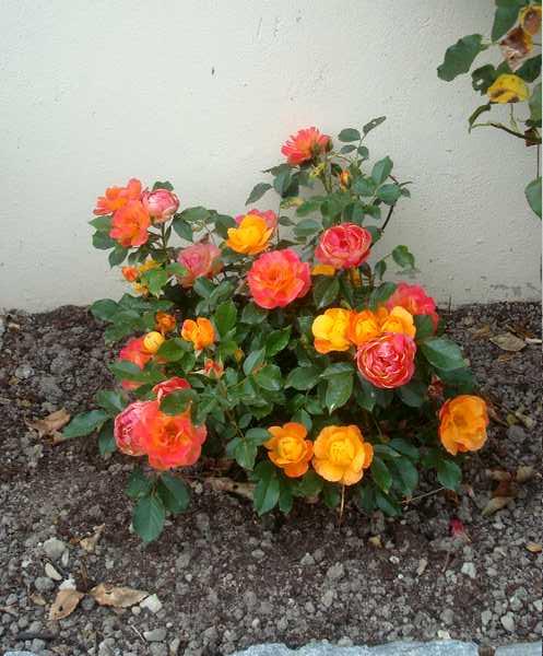Les rosiers Dsc06247