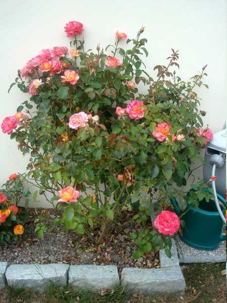 Les rosiers Dsc06248