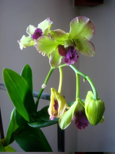 Mes orchidées démarrent bien 2021... Dsc08451
