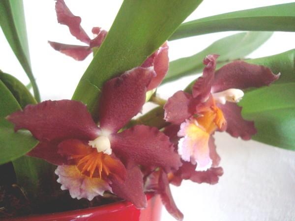 Mes orchidées démarrent bien 2021... Dsc08453
