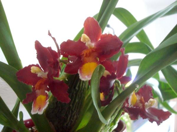 Mes orchidées démarrent bien 2021... Dsc08454