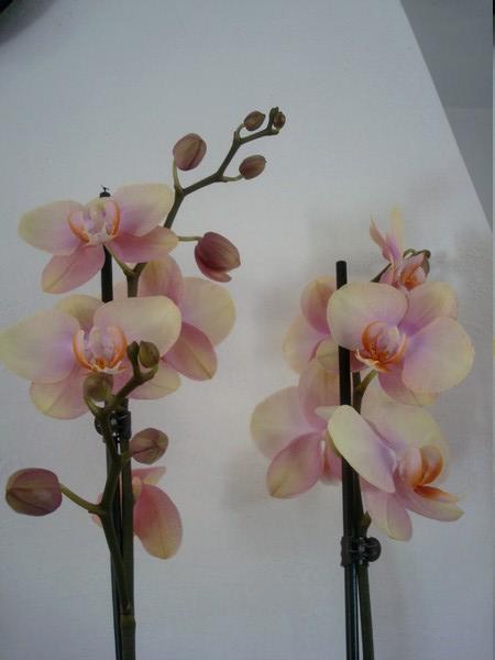 Mes orchidées démarrent bien 2021... Dsc08456