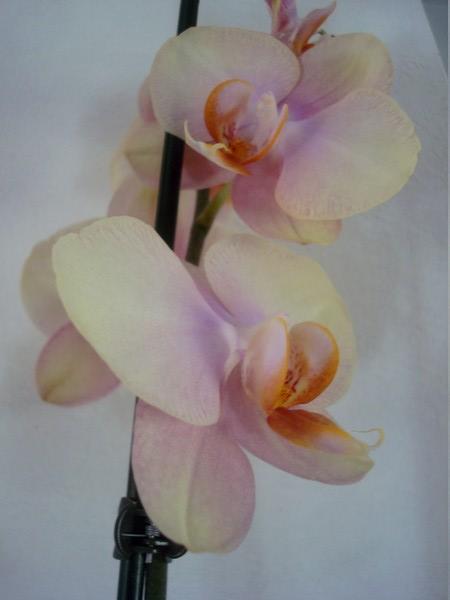 Mes orchidées démarrent bien 2021... Dsc08457