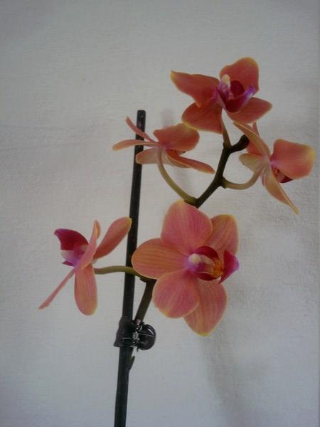 Mes orchidées démarrent bien 2021... Dsc08459