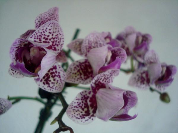 Mes orchidées démarrent bien 2021... Dsc08461