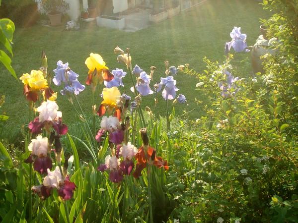 Les iris : un régal pour les yeux ! Dsc08864