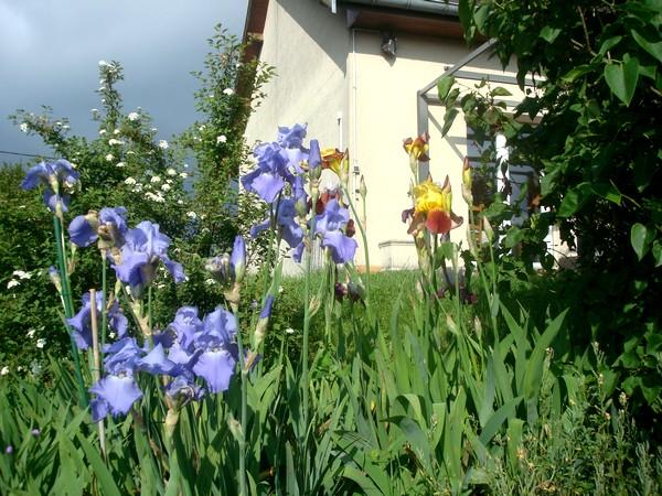 Les iris : un régal pour les yeux ! Dsc08865