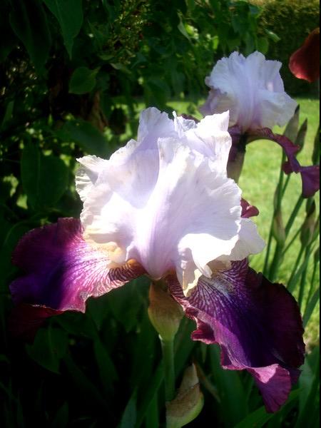 Les iris : un régal pour les yeux ! Dsc08867