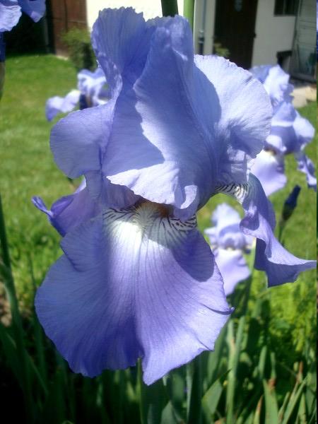 Les iris : un régal pour les yeux ! Dsc08868