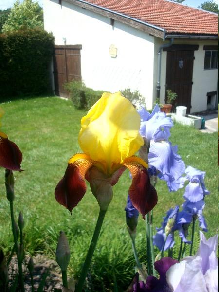 Les iris : un régal pour les yeux ! Dsc08869