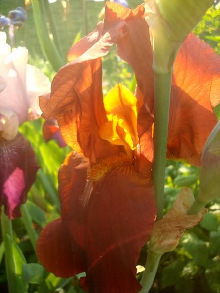 Les iris : un régal pour les yeux ! Dsc08871