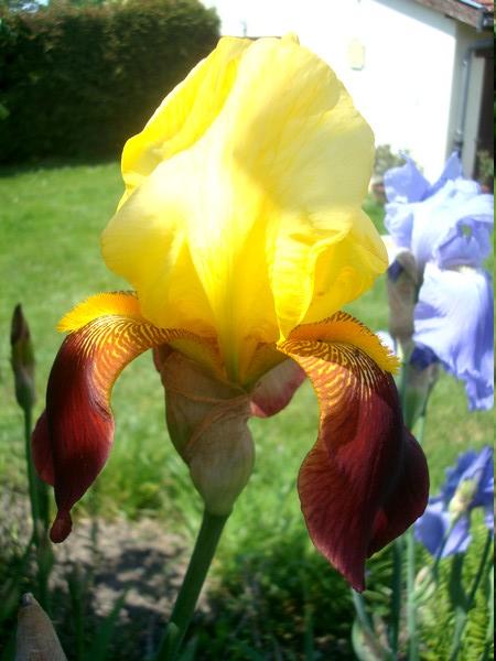 Les iris : un régal pour les yeux ! Dsc08872