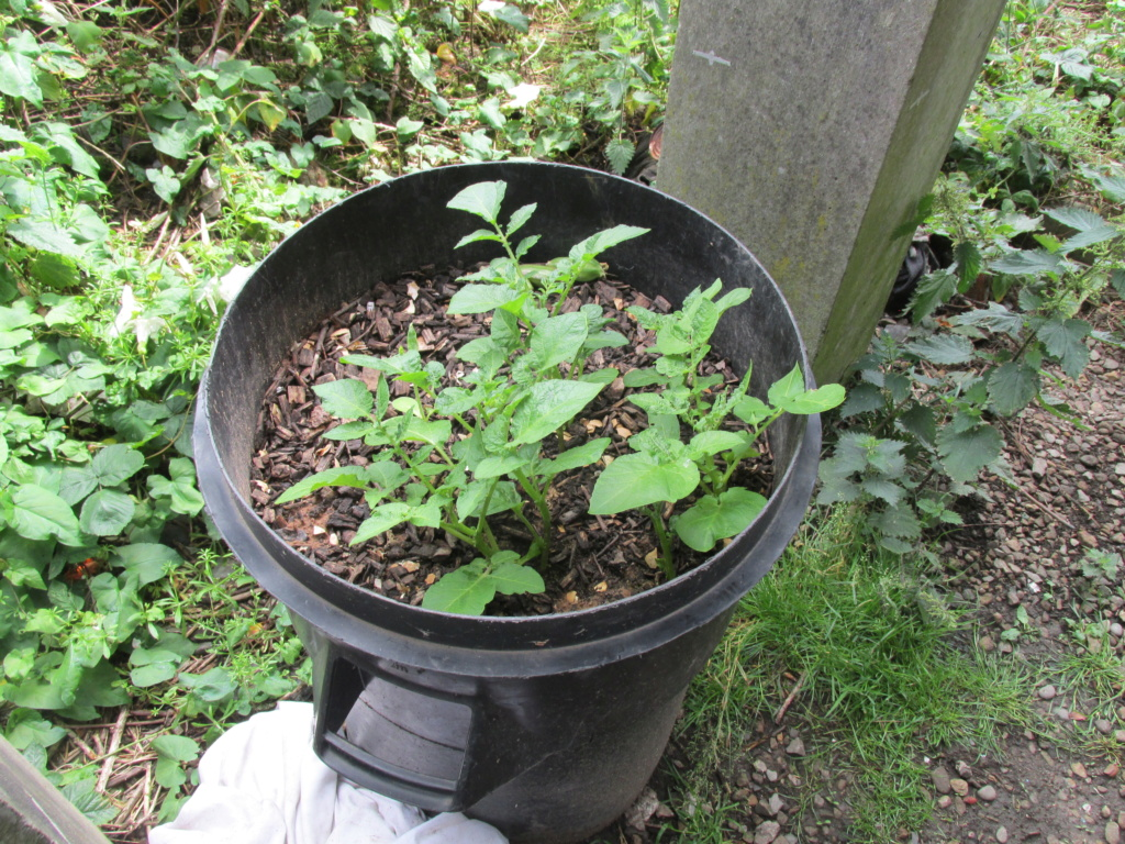 Container Grown Spuds Kevs_p10