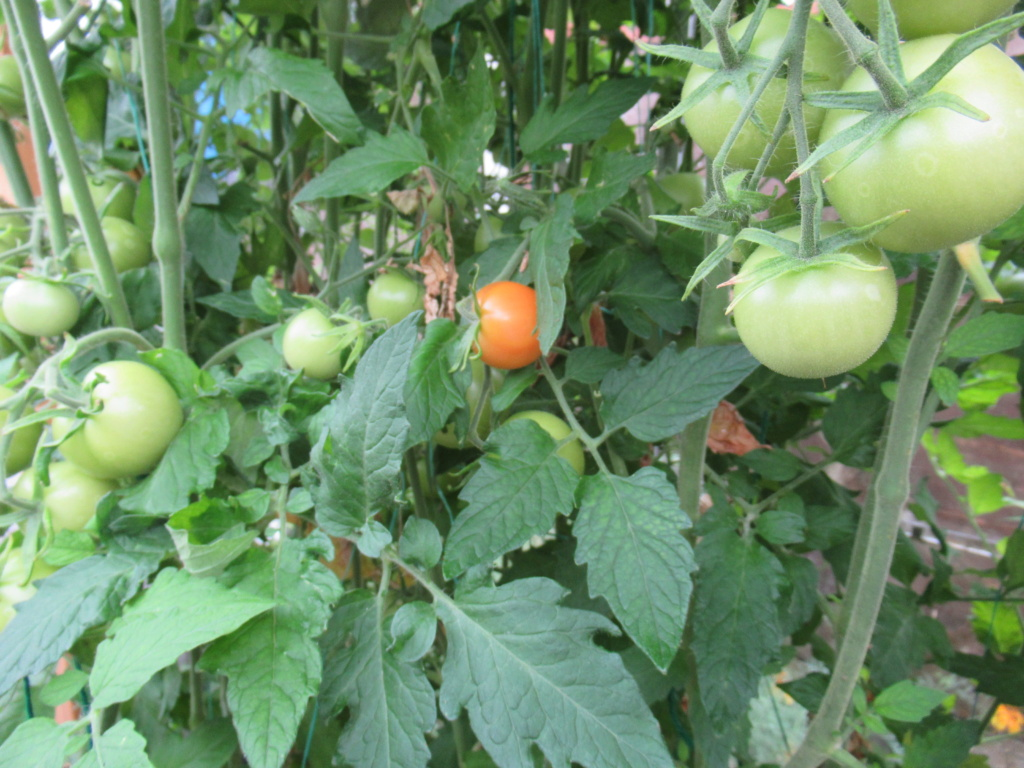 tomato update 25th July Red_un10