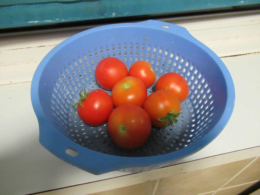 tomato update 25th July Tom_s_10