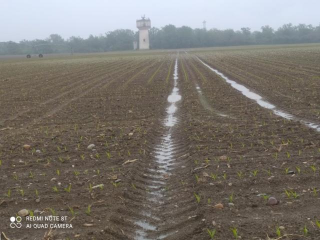 Désherbage maïs post levée Img_2505