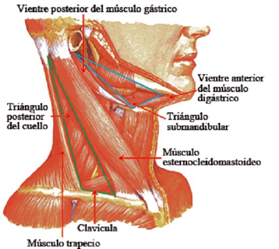 Esternocleidomastoideo Estern10