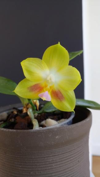 """Phalaenopsis Joy Spring Canary """"Yaphon""""  Dsc_0330"""