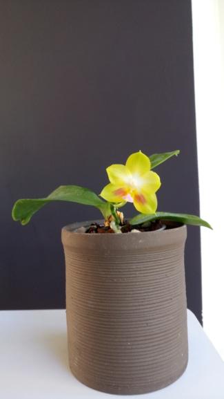 """Phalaenopsis Joy Spring Canary """"Yaphon""""  Dsc_0331"""