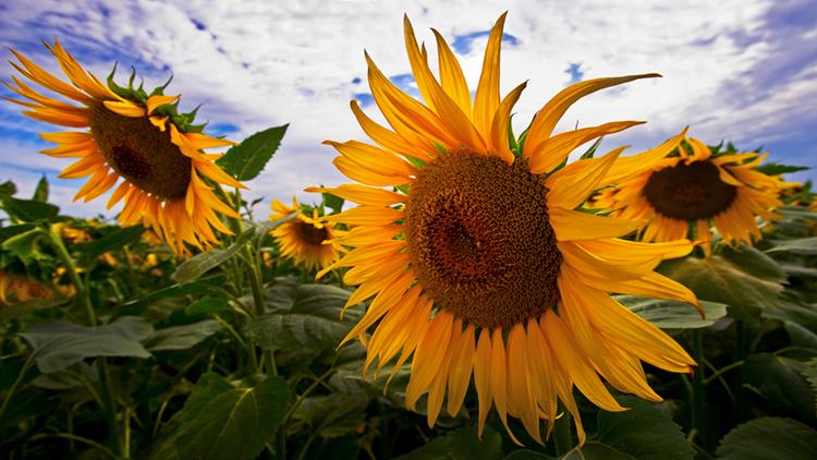 Suncokreti-sunflowers - Page 30 1-web-10