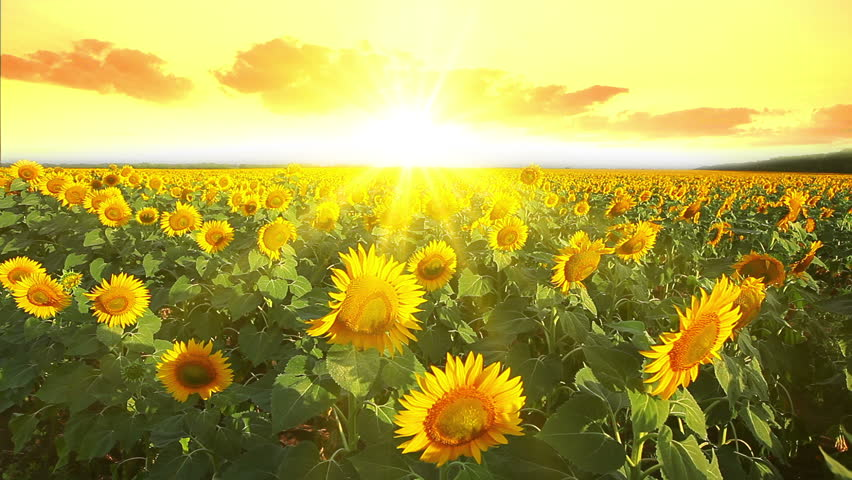 Suncokreti-sunflowers - Page 29 121