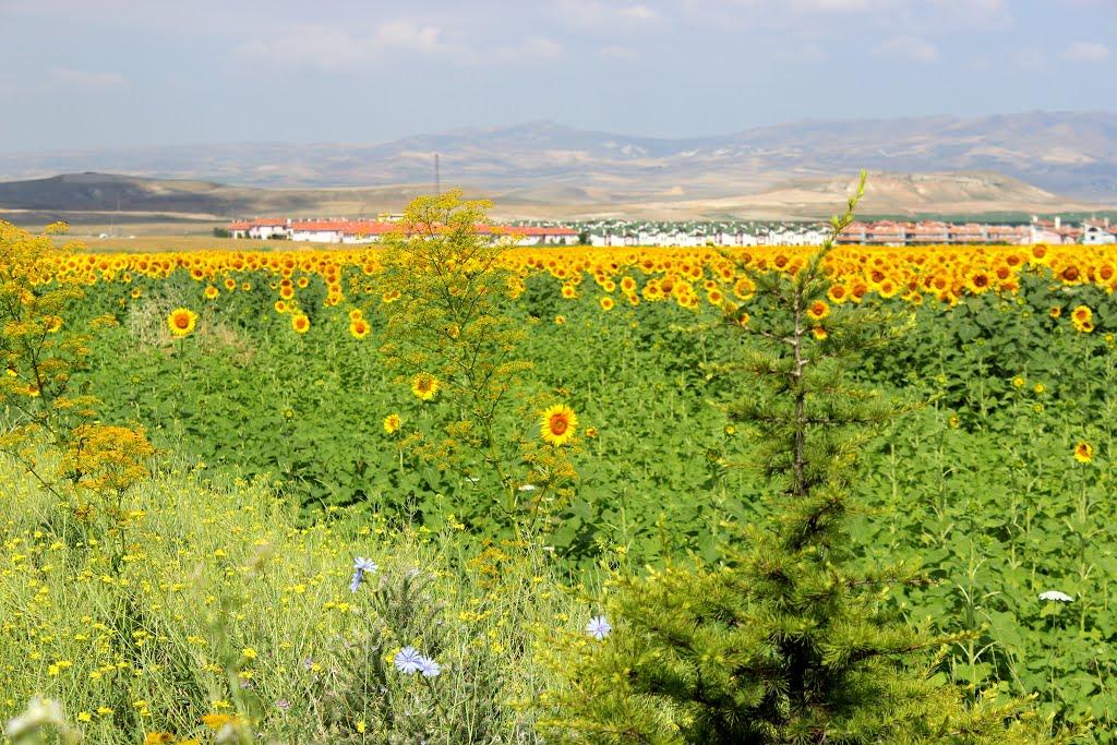 Suncokreti-sunflowers - Page 29 12159510