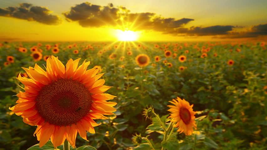 Suncokreti-sunflowers - Page 30 122