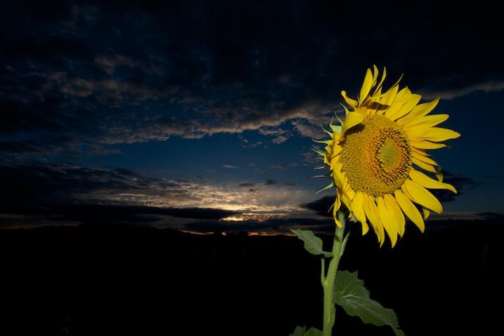 Suncokreti-sunflowers - Page 29 13072810