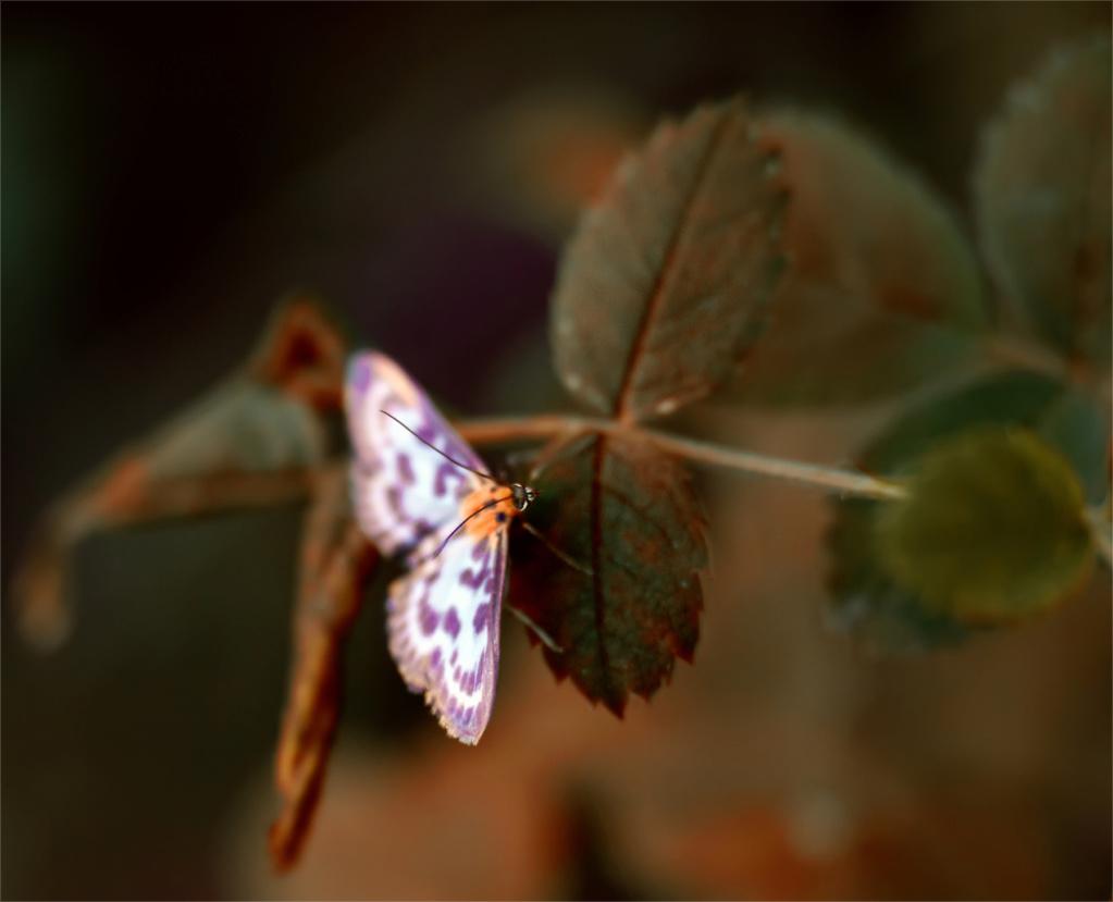 Leptiri i ostali insekti - Page 3 13080210