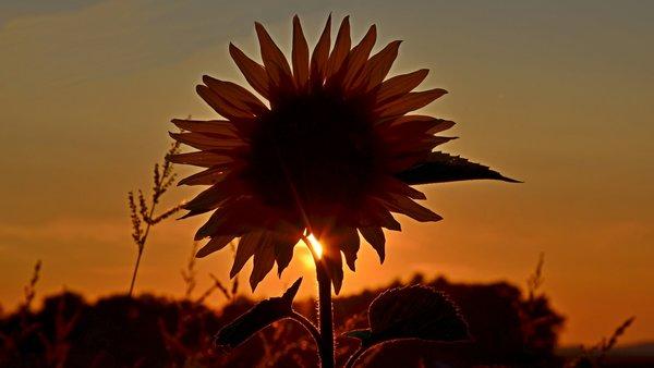Suncokreti-sunflowers - Page 29 13198410